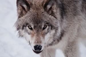 lone-wolf
