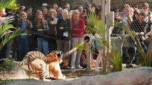 zz-tiger