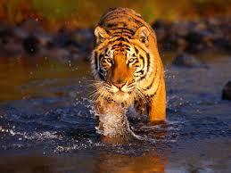 zz-tiger3